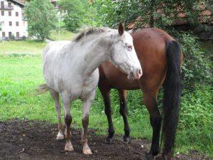 foto-cavalli